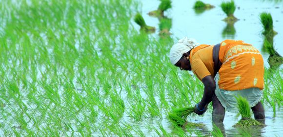 Rice farmer on paddy field
