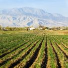 Green onion field in central Asia