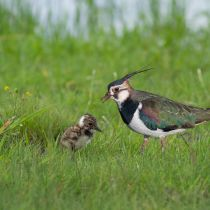 A Mother Northern Lapwing (Vanellus vanellus) with her Chick in the Wild