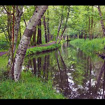 Birch forest with irrigation channel